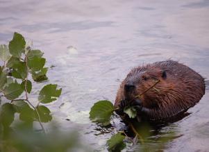 beaver pic